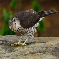 """ツミ(雀鷹)/Japanese lesser sparrowhawk - 「生き物たちに乾杯」 第3巻 """"A Toast to Wildlife!"""" vol. 3"""