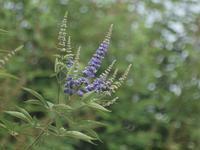 『西洋人参木(セイヨウニンジンボク)やサルビア達と蝶・・・・・』 - 自然風の自然風だより
