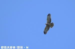鷹の渡り - 野鳥大好き!闘将・N