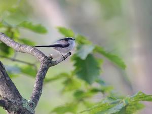 山小屋から鳥見(4)(エナガ) -