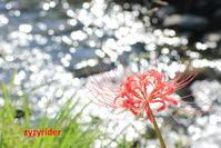 水辺を彩るヒガンバナ(その2) - ジージーライダーの自然彩彩