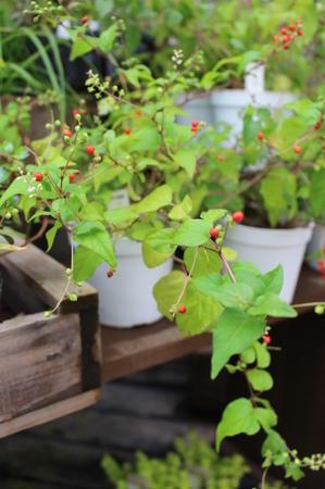 寄せ植えに~動きの出る植物~ - 風雅舎ブログ