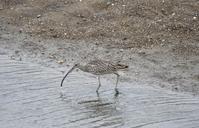 加古川河口の野鳥 - いい男の「歩々是道場」