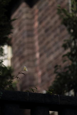 薔薇を待つ 洋館 - 花は桜木、