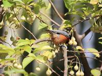 今日の鳥さん 170919 - 万願寺通信