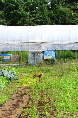 畑にキツネ発見。 - キシノウエンの 今日のてしごと