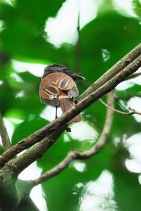 尾の短い三光鳥 - 四季折々に・・・・・