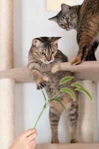 天然物のネコジャラシ - 猫と夕焼け