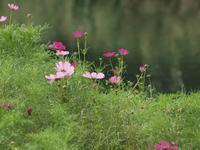 『秋桜(コスモス)と女郎花(オミナエシ)の咲く水辺風景』 - 自然風の自然風だより