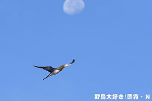 月とカツオドリ - 野鳥大好き!闘将・N