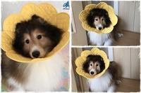 シェルティのレオンくん♪ - ハンドメイドのエリザベスカラー ★☆お花エリカラ☆★