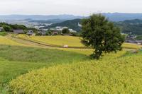 御所市散策 ~実りの予感  - katsuのヘタッピ風景