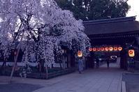 平野神社 夜桜 - 京都デジカメ散歩