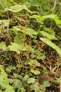 20170920 【植物】クロクモソウ - 杉本敏宏のつれづれなるままに