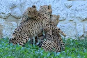 ネコ好きにはたまりません。3兄弟と、シュパーブ・ママさんの華麗なラン(日野市、多摩動物園) - 旅プラスの日記