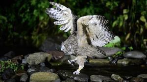 シマフクロウの狩り - カワセミ王国