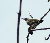ホオノキの実を啄みに(その2)・・・ - 一期一会の野鳥たち