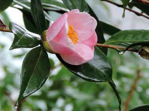 椿西王母が咲き始めた -