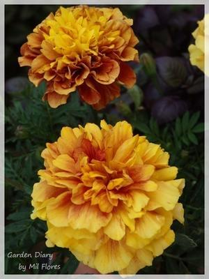 French Marigold Strawberry Blonde - Garden Diary