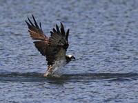 長い翼 - 『彩の国ピンボケ野鳥写真館』