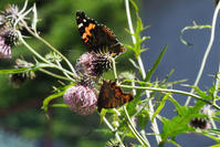 アザミに集まる蝶たち - TOM'S Photo