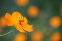 オレンジ色の夢 - 写真の記憶