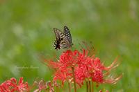 彼岸花…蝶の髪飾り ** - ふわふわ日和