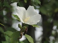 『木槿(ムクゲ)や荒地瓜(アレチウリ)や駒繋(コマツナギ)の花達・・・・・』 - 自然風の自然風だより