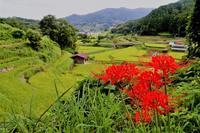 明日香彼岸花祭り直前 - 写真を主とした日記です