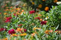 小さなローズガーデンと中庭に咲く花たち - 季節の風を追いかけて