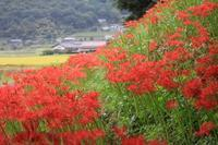 2017.09.22 彼岸花開花です。 - 安田の自然(ユキワリイチゲ)吉舎町情報