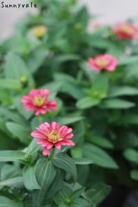 ジニアザハラシリーズ!!日本初上陸の色も! - さにべるスタッフblog     -Sunny Day's Garden-