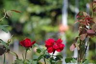 雨上がりの小さなローズガーデンと秋の薔薇 - 季節の風を追いかけて