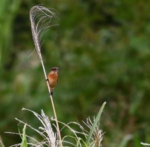 河川敷にノビタキを・・・ - 一期一会の野鳥たち