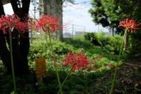 彼岸花 - お庭のおと
