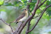 キビタキ 雌 秋の立ち寄り  - 気まぐれ野鳥写真