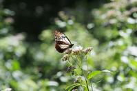 赤城自然園で一服するアサギマダラ - TOM'S Photo