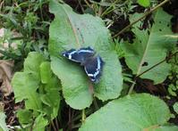 ルリタテハなど、最近見た蝶&蛾 - きつねこぱん