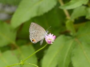 クロマダラソテツシジミ徳島の旅 - 蝶のいる風景blog