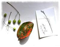 稲(オリザ)と栴檀と柿落ち葉 - マリカの野草画帖