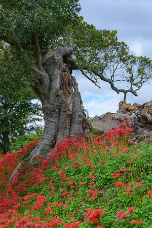 燧ヶ池の土手に咲く彼岸花 - S-Photo