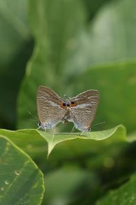 ウラナミシジミとウラギンシジミ - 蝶超天国