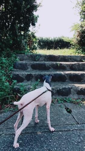 日本テリア 犬目堂