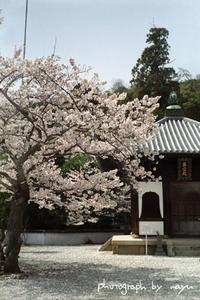 尾道の桜 - 空ノ畑 a day in the life ...