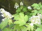 柏葉紫陽花開花中 - あるiBook G4ユーザによるブログ