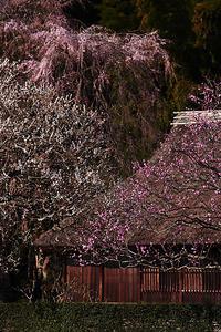 枝垂桜と梅の競演?? - デジカメ写真集