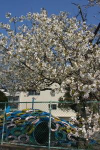 学校の桜 - デジカメ写真集