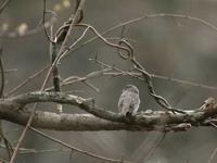 コサメビタキ - 写真で綴る野鳥ごよみ