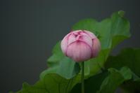 蓮の花蓮の花深き平和の永久にあれ - オーガニックな感覚(短詩文芸・冠句・川柳・その他)
