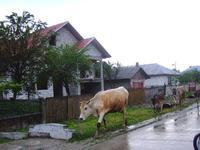牛とお散歩♪ - ルーマニアへ行こう! Let's go to Romania !